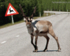Auto Insights: Beware of Reindeer on the Road